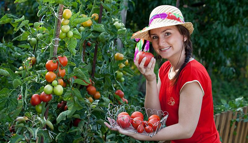 Dame plukker tomater